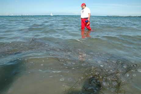 DRK-Wachgänger Andreas Döpke guckt im Wasser am Priwall-Strand nach Feuerquallen. In dem Quallenfeld wird er schnell fündig. Am häufigsten sind zwar die harmlosen heimischen Ohrenquallen, aber es sind vereinzelt auch Feuerquallen aus der Nordsee darunter. Foto: <b>TA</b>