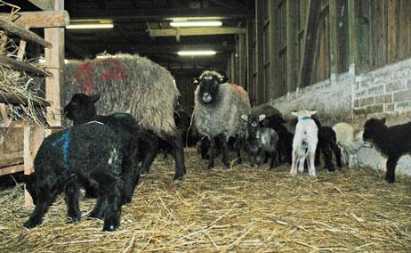 Der Schaf-Treck wird in Travemünde die Priwall-Fähre nehmen. Foto: <b>ARCHIV TA</b>