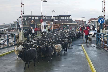 Für die Schafe war extra eine Fähre reserviert. Alle Fotos: <b>KARL ERHARD VÖGELE</b>