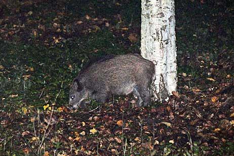 Travemünde Aktuell: Wildschweine im Garten – leider nicht in der Backröhre
